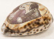 Etched shell-3.jpg