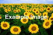 A field of sunflowers with the words 'Example Image' superimposed on top.